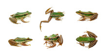 Group Of Paddy Field Green Frog Or Green Paddy Frog (Rana Erythraea) On A White Background. Amphibian. Animal.