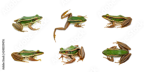 Spoed Foto op Canvas Kikker Group of paddy field green frog or Green Paddy Frog (Rana erythraea) on a white background. Amphibian. Animal.