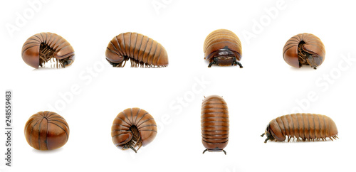 Group of pill millipede worm(Oniscomorpha) isolated on a white background. Glomerida. Insect. Animal.