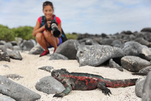 Galapagos Christmas Iguana And Tourist Wildlife Photographer Taking Picture. Marine Iguana On Espanola Island, Ecuador, South America. Woman On Galapagos Cruise Ship Adventure Travel Holidays Vacation