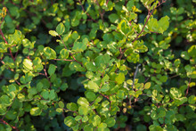 Green Carob Tree Leafs. Cerato...