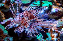 Lionfish At The Aquarium