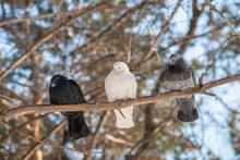 Pigeons On A Branch