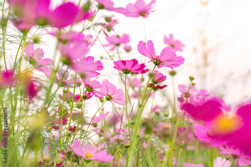 Fototapeta Cosmos colorful flower in the beautiful garden