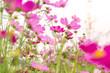 Leinwandbild Motiv Cosmos colorful flower in the beautiful garden