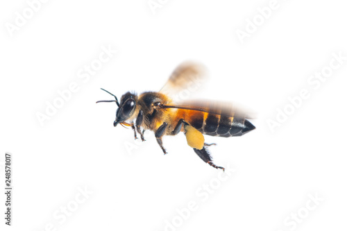 Leinwand Poster A close up of flying bee isolated on white background