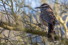 A Wild Cactus Wren Perched On ...