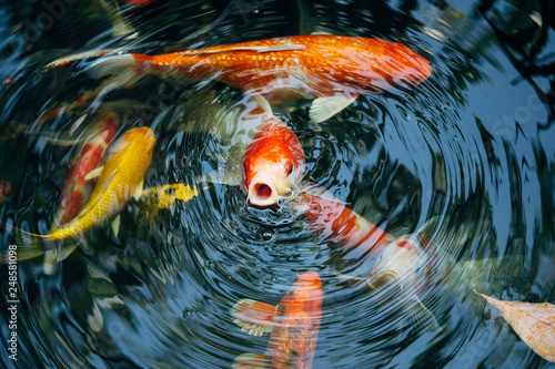 Koi fish in the pond in the garden Canvas-taulu
