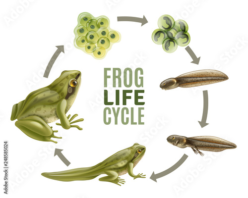 Frog Life Cycle Set Wallpaper Mural
