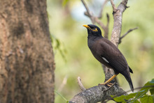 Closeup Common Myna (Acridotheres Tristis) Perching On Branch In The Garden.