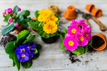 The First Spring Colorful Prim...