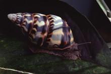 Liguus Tree Snail (Liguus Fasciatus Marmoratus)