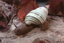 Liguus Tree Snail (Liguus Fasciatus Miammiensis)