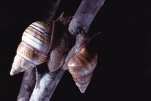 Liguus Tree Snails (Liguus Fasciatus)