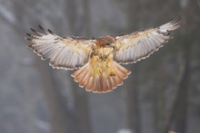 View Of A Landing Red-tailed H...