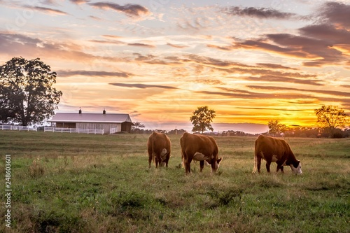 Fotografia Cows grazing in pasture beautiful sunset