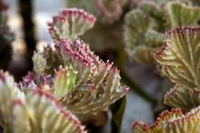 Many Euphorbia Lactea Cristata Plants In A Garden. Beautiful Coral Cactus Shrub Outdoors Background