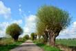 piękna aleja drzew, wiosna