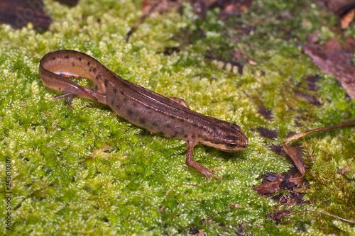 Obraz na plátně Adult specimen of common or smooth newt (Lissotriton vulgaris; formerly Triturus