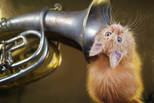 Ginger Kitten Playing With French Horn