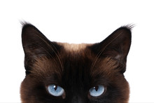 Siamese Cat With Blue Eyes Pee...
