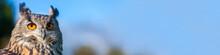 European Eagle Owl Panorama Ba...