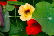 Close-up Of A Red And A Yellow Red Blossom Of A Nasturtium
