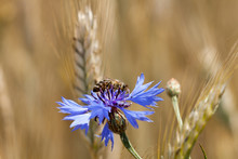 Bee On Cornflower. Blue Flower...