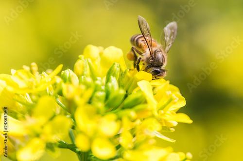 Montage in der Fensternische Gelb Schwefelsäure Honey bee collecting pollen on canola flower