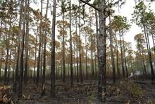Burning, Blackened, Charred, Smoky Grove Of Trees, Forest, Apalachicola