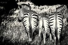 Zebras Im Kwai Konzessionsgebiet