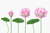 Realistic lotus. Pink water flower. Blooming pink lotus with leaves. Vector isolated set. Lotus flower realistic bloom illustration