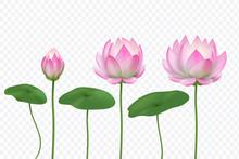 Realistic Lotus. Pink Water Fl...