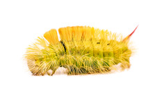 Bright Hairy Caterpillar On White