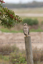Sharp-shinned Hawk In Florida Marsh Looking For A Meal