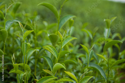 Staande foto India Green Tea Field, Green Tea, Green Tea from Thailand country