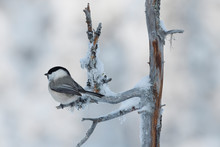 Willow Tit Bird Sit On Tree Branch With Snow