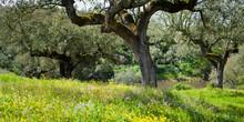 Quercus Suber - Old Cork Oak T...