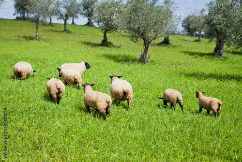Stampa su Tela Suffolk sheep herd in the spring meadow grazing field, with olive and cork oak trees -  agriculture in Alentejo, Portugal, Europe