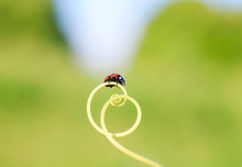 Red Ladybug Crawling On Green Grass Curved Into A Spiral On A Summer Sunny Meadow
