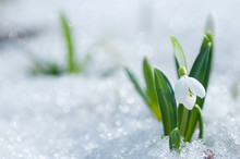 Beautifull Snowdrop Flower Growing In Snow In Early Spring Forest