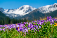 Beautiful Meadow With Blooming Purple Crocuses On Snowcaped Mountains Background
