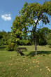 fallobst unter apfelbaum