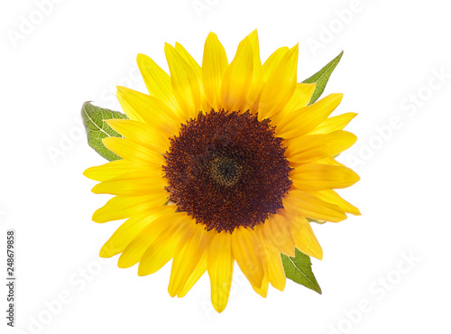 Spoed Foto op Canvas Zonnebloem FLOWER OF SUNFLOWER