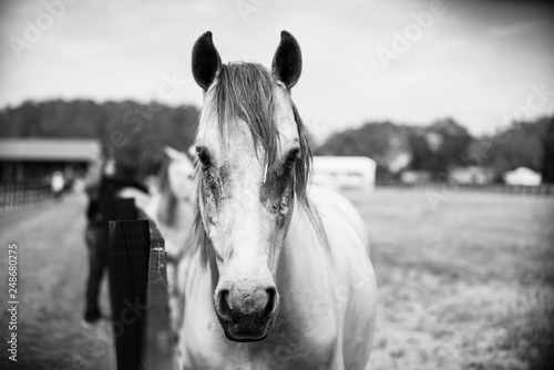 Black and white horse front portrait