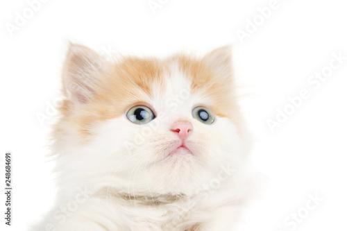 Fotografie, Obraz  Cute kitten on white background