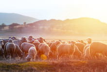 A Herd Of Sheep On Pastures At Sunset