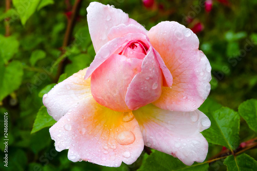 Rose Gloria Dei blooming at night after rain Canvas Print