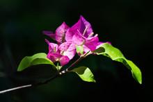 Pink  Bougainvillea Flower In Dark Background