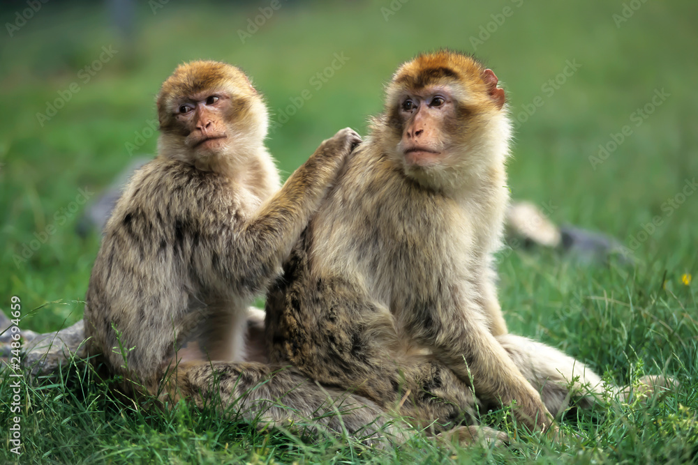 Fotografie, Obraz Barbary macaque (Macaca sylvanus),Magot  native to Morocco, Algeria and Gibralta